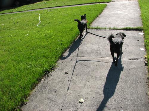 Dogwalking3